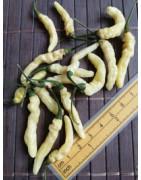 Aribibi Gusano (Chilli seeds)