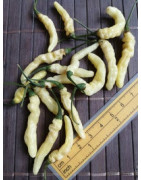 Aribibi Gusano (Chilli semena)